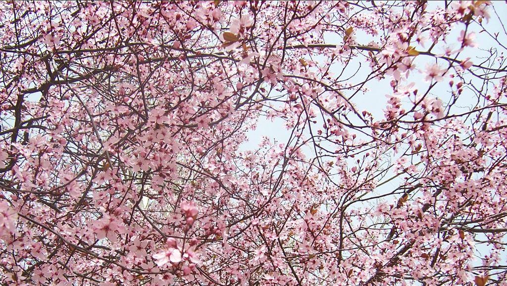 Un ametller en plena floració durant la primavera