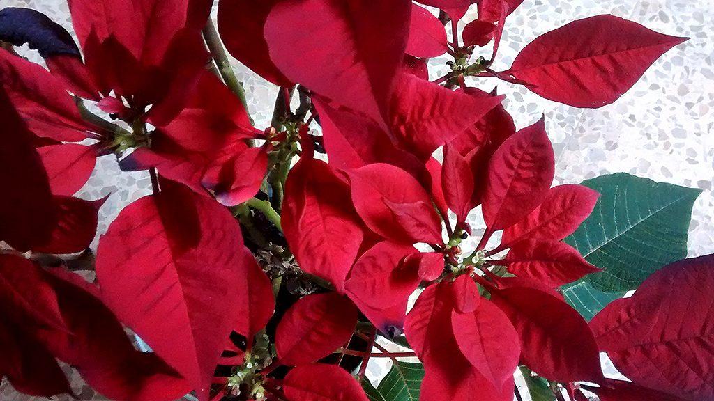 flor de nadal amb fulles vermelles