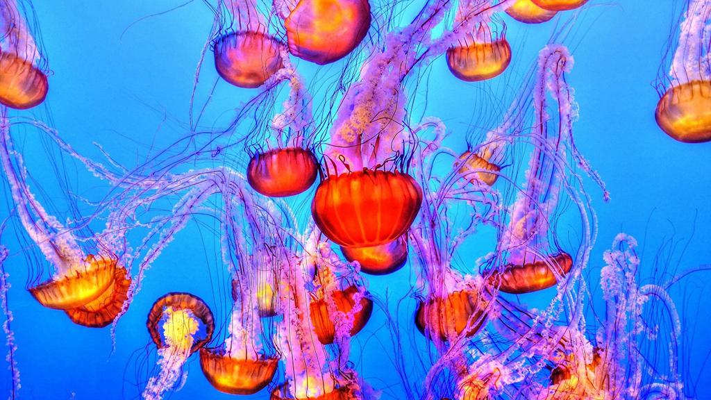 picada medusa