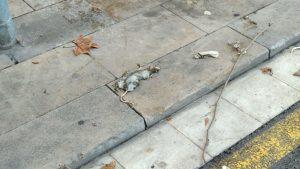 Rata morta al Raval