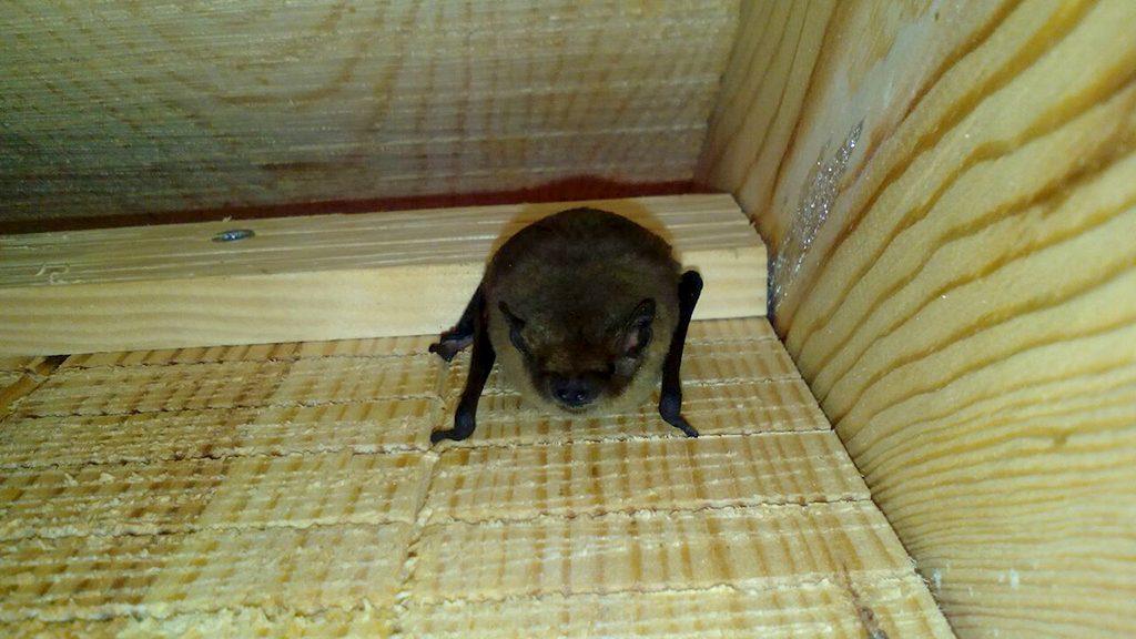 Ratpenat dins d'una caixa
