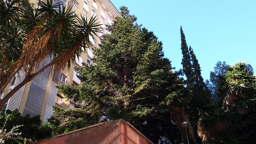 Exemplar de pinsap a Barcelona