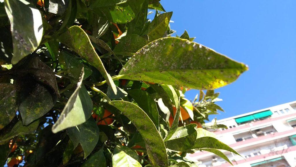 fulles de taronger malaltes