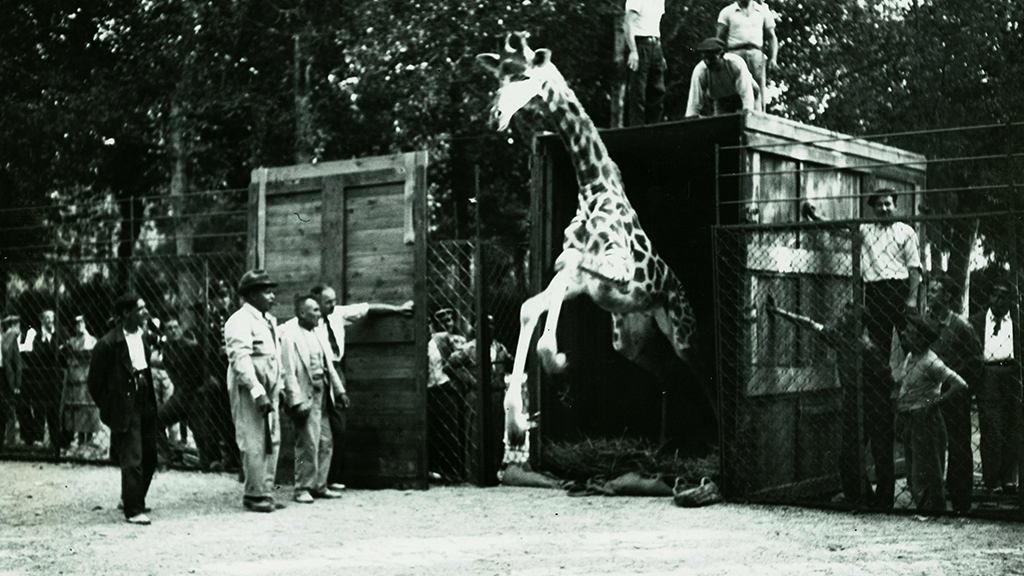 1024x576_0002_1934 Adquisicio parella de girafes pel Zoo