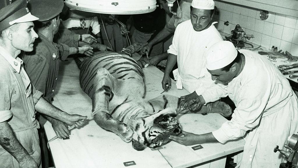 1024x576_0032_1960 Operacio quirurgica a un tigre del Zoo