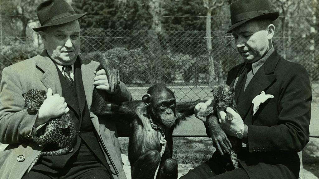 1024x576_0036_1943 Obsequi dun ximpanze i dues panteres al Zoo