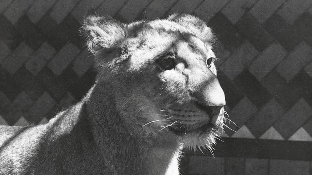 1024x576_0037_1936 3 lleons donants al Zoo 03