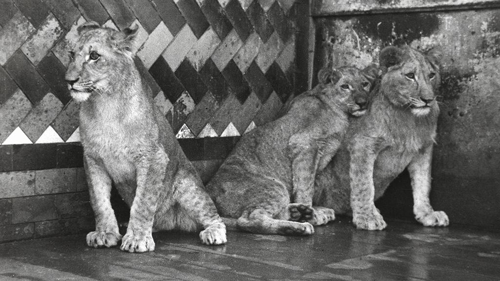 1024x576_0038_1936 3 lleons donants al Zoo 02