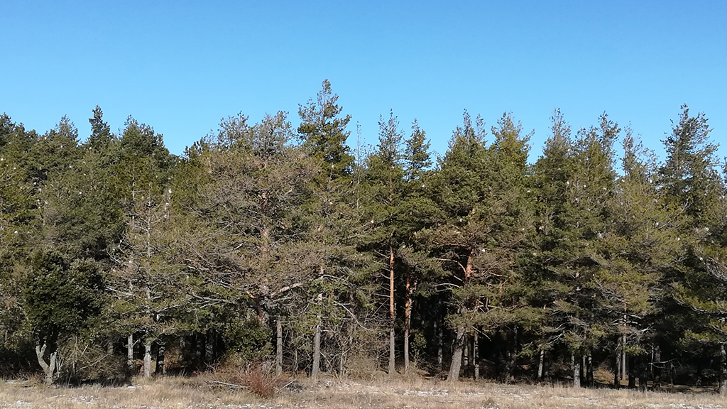 pins afectats per processionària