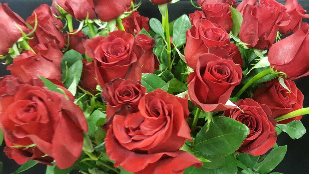 rosa varietat freedom