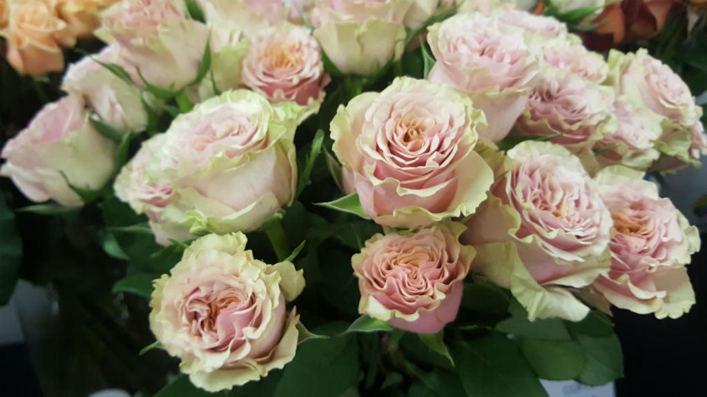 rosa mabella