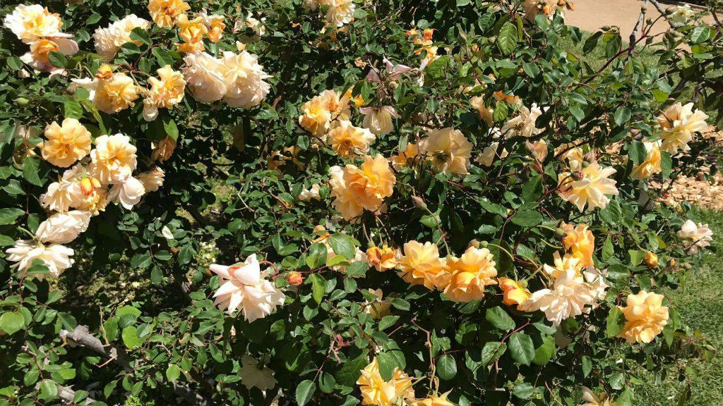 Concurs de roses