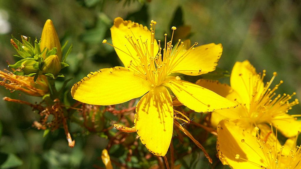 Aelwyn flor de pericó