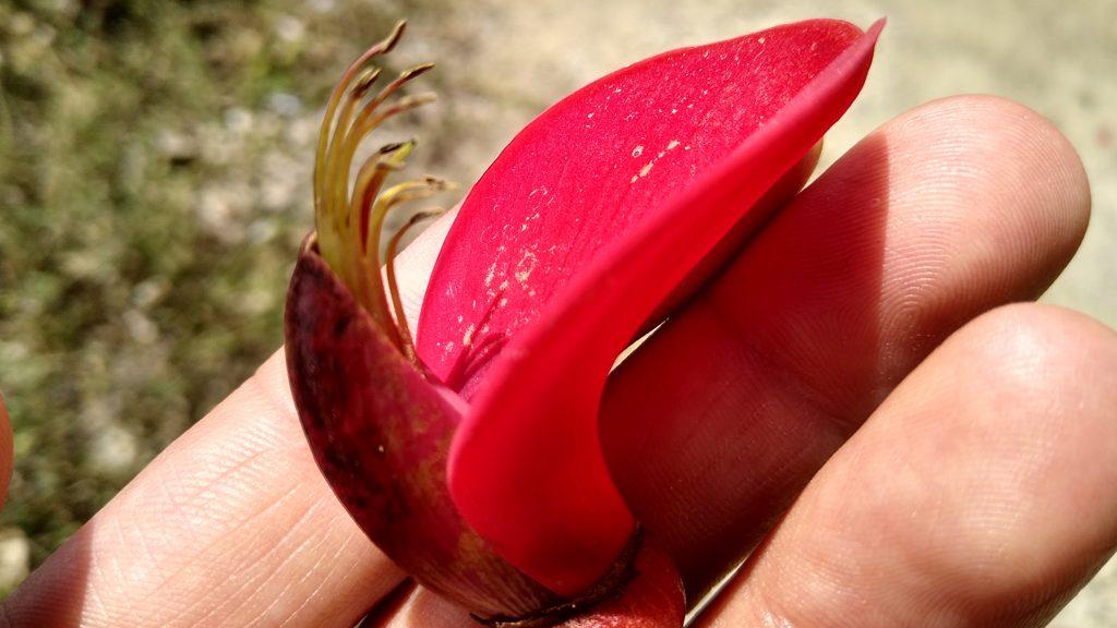 flor de l'eritrina