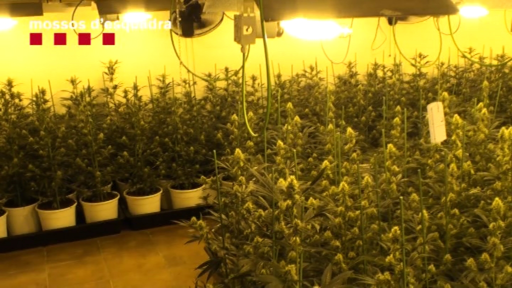 Detinguts grup criminal marihuana