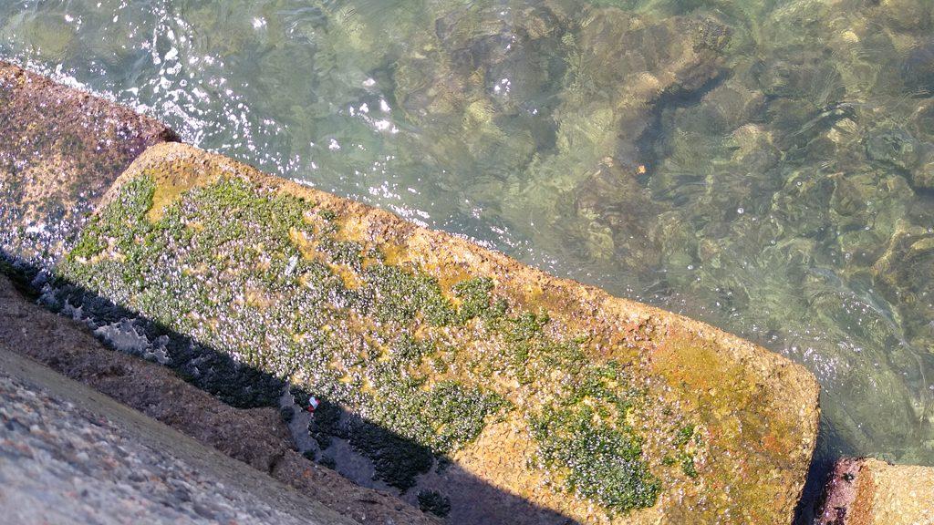 algues verdes