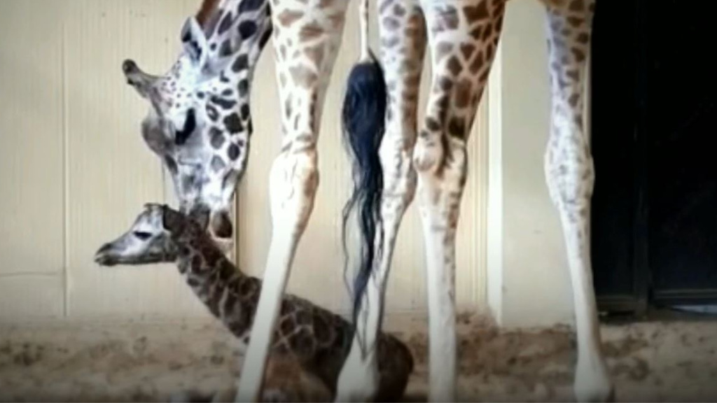 Girafa al Zoo de Barcelona