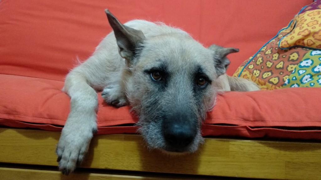 confinament efectes gossos coronavirus
