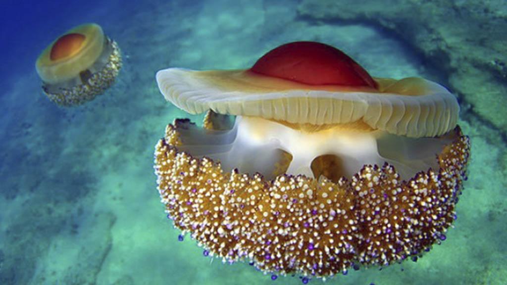 meduses abans mediterrani