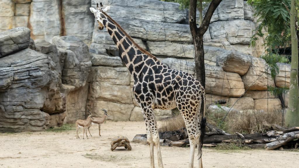 Girafa Zoo Barcelona