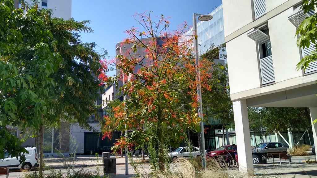 arbre del foc Australià