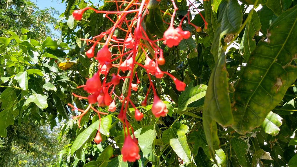 flors arbre del foc