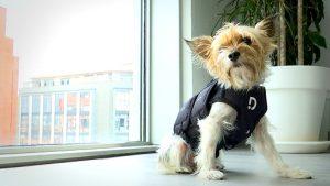 armilla amb sensors de paràmetres veterinaris Dinbeat