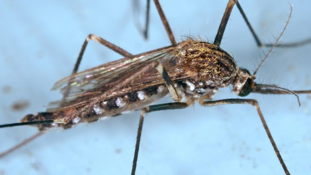 mosquit del Japó