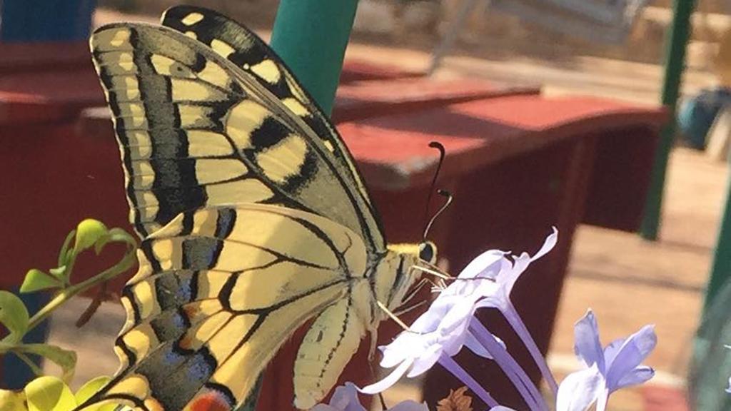 papallona reina