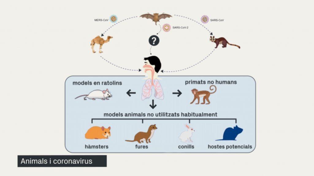 Gràfica sobre la transmissió en animals del coronavirus