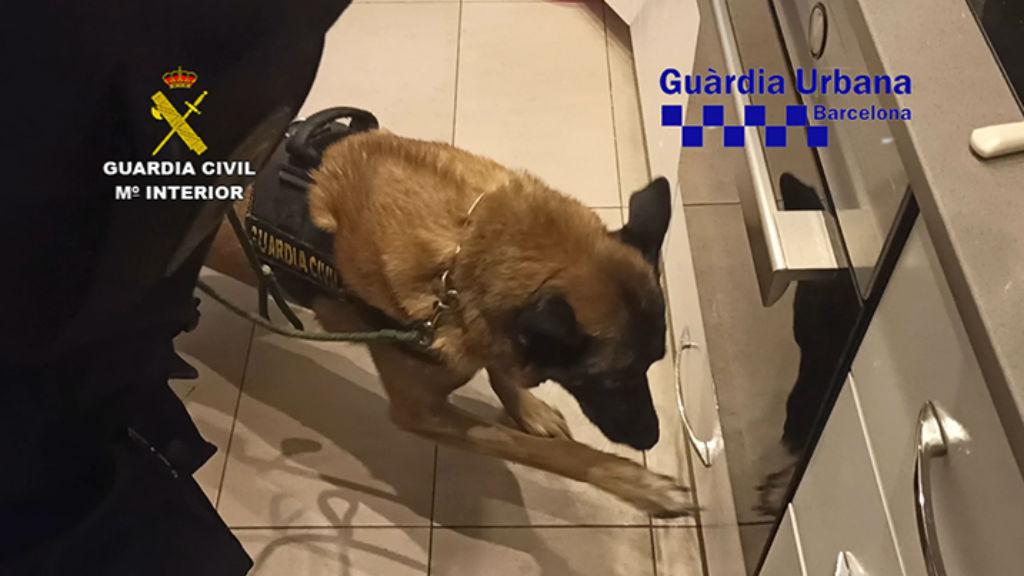 gos policia buscant droga