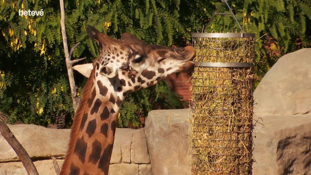 FB girafa manja zoo gener 2021
