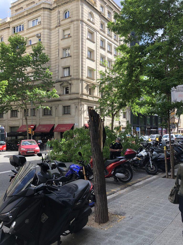 Tronc de l'arbre caigut a Travessera de Gràcia - Santaló